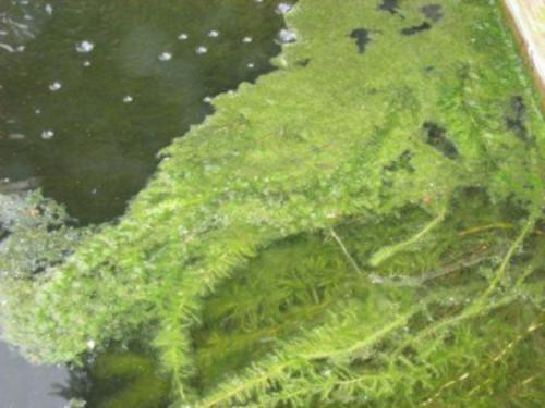 le alghe nel laghetto
