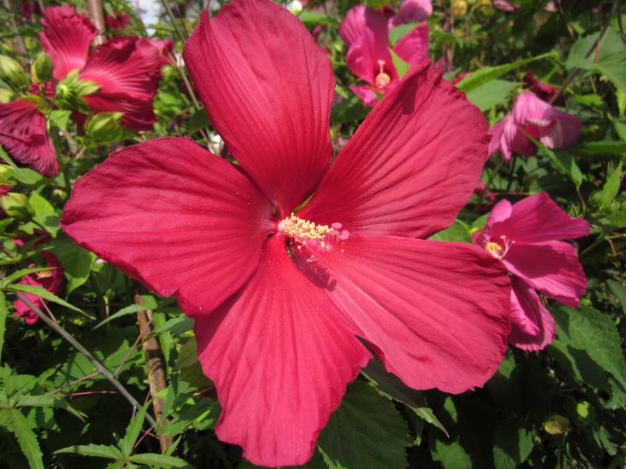 Fiori Hibiscus.Hibiscus Moscheutos