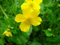 caltha-palustris-2