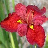 iris-louisiana-red-wine