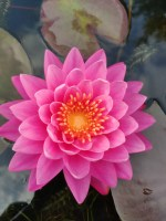 nymphaea-celebration-2