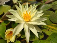 nymphaea-gold-medal-2