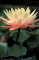 nymphaea-peaches-and-cream