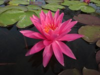nymphaea-perrys-magnificent