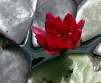 nymphaea-perrys-red-glow
