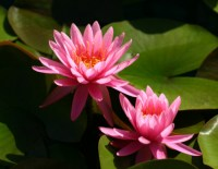 nymphaea-perrys-rich-rose