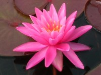 nymphaea-rose-arey-2