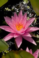 nymphaea-rose-arey