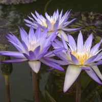 nymphaea-star-of-siam