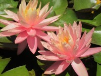 nymphaea-sunny-pink-2