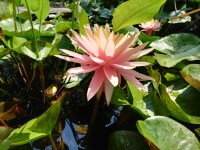 nymphaea-sunny-pink