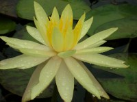 nymphaea-yellow-queen