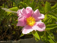 rosa-palustris